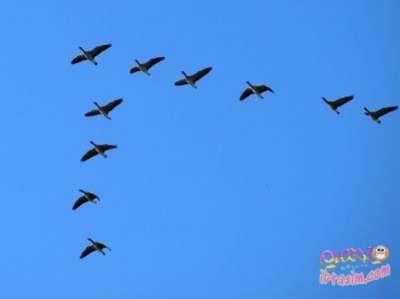 لماذا تهاجر الطيور على شكل حرف v 3909829719.jpg