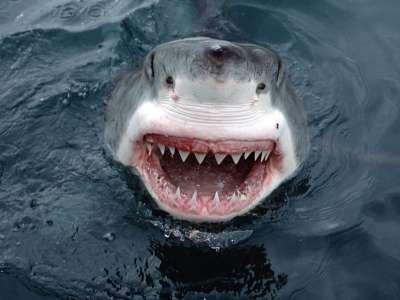 أسماك القرش الشرسة