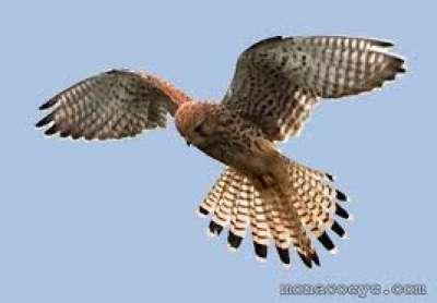 طائر الرماني
