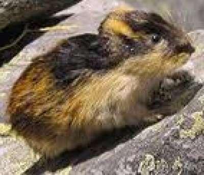 حيوان اللاموس 3909833861.jpg