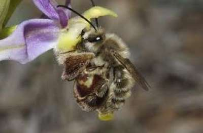 نحلة الأرض الـطنانة