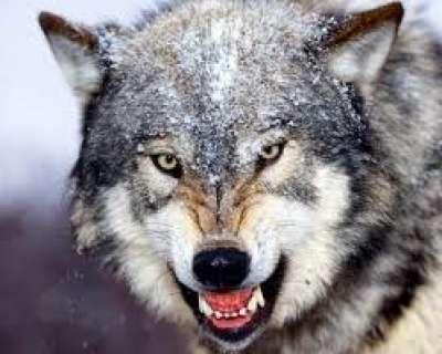 كيف يأكل الذئب الجن