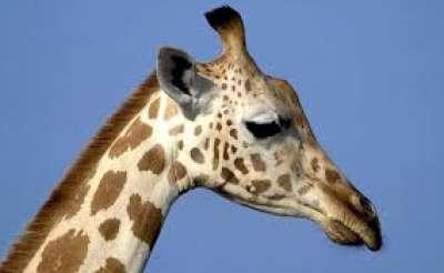 الزرافة.. المخلوق الذي أذهل عقول العلماء 3909844088.jpg