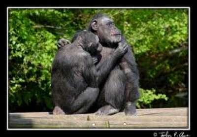 الشِــــــمْـبــــانــــز ِي.. نوع القردة العليا الافريقية 3909845730.jpg