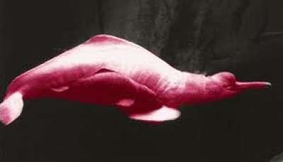 الدلـفـين الوردي