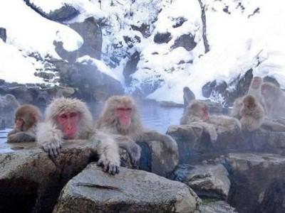 قـــرود الثلـــج اليابانيه تقضي وقتها منتجعات المياه الساخنه 3909854390.jpg