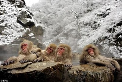 قـــرود الثلـــج اليابانيه تقضي وقتها منتجعات المياه الساخنه 3909854395.jpg