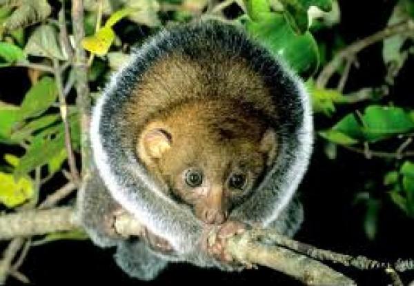 حيوان الكنكاجو.. تتناول الفاكهة وتستخدم لسانها لاكل العسل 3909870875.jpg