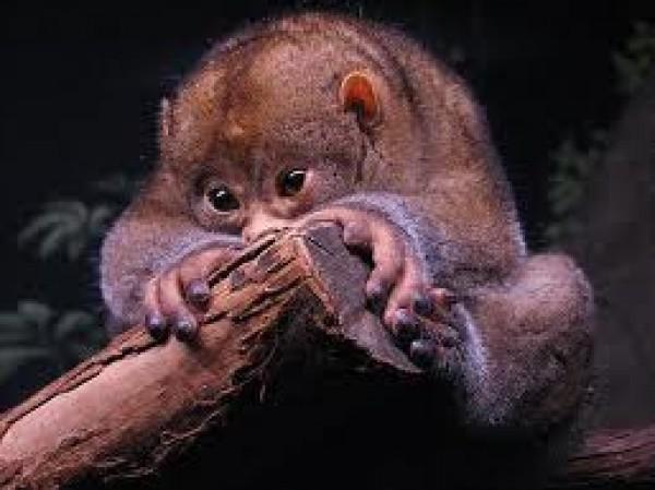 حيوان الكنكاجو.. تتناول الفاكهة وتستخدم لسانها لاكل العسل 3909870876.jpg