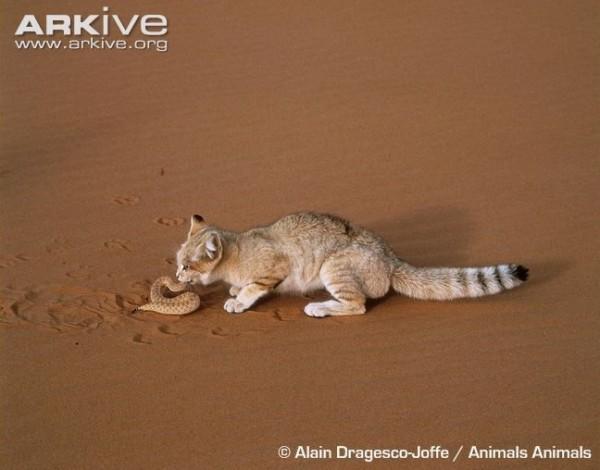 قط الرمال العربي 3909878381.jpg