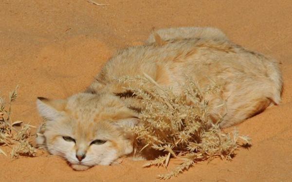 قط الرمال العربي 3909878389.jpg