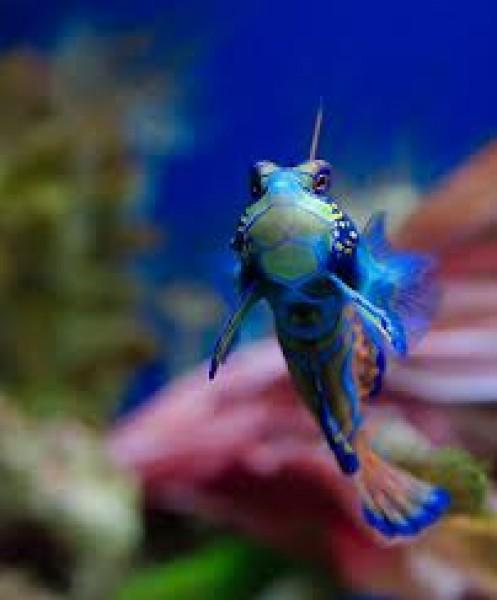 سمكه اليوسفي او المندرين  3909888902