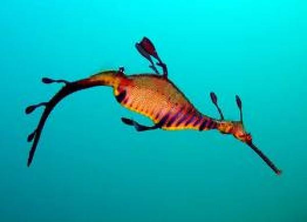 أجمل كائن بحري تنين البحر العشبي