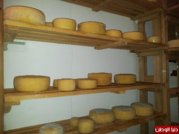 بالصور:صناعة الجبنة الايطالية بأيادي فلسطينية لتنافس الأجبان الاسرائيلية 3909897325.jpg