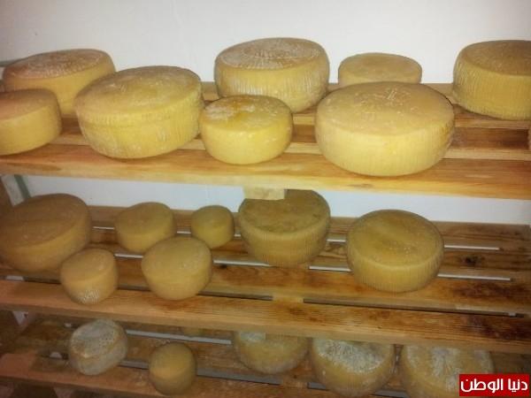 بالصور:صناعة الجبنة الايطالية بأيادي فلسطينية لتنافس الأجبان الاسرائيلية 3909897326.jpg