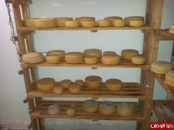 بالصور:صناعة الجبنة الايطالية بأيادي فلسطينية لتنافس الأجبان الاسرائيلية 3909897327.jpg