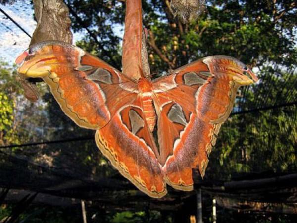 فراشة اتاكوس اطلس أكبر فراشة
