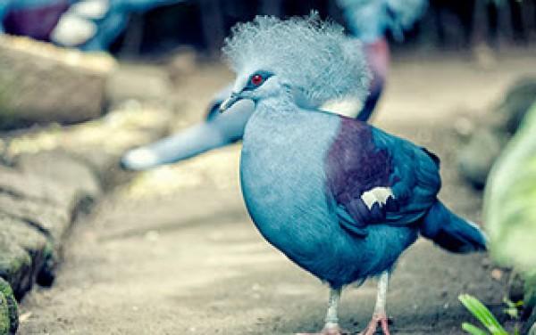 الملكة الحمامة الزرقاء المتوجة 3909915390