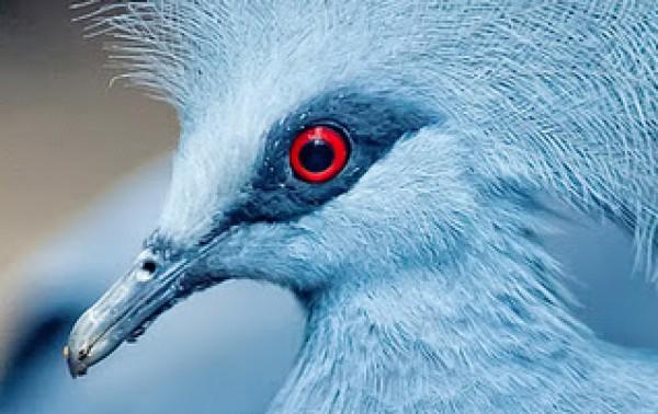 الملكة الحمامة الزرقاء المتوجة 3909915394