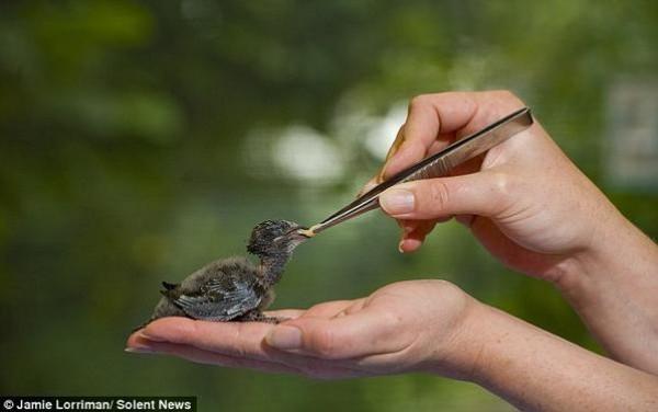 اطعام طائر صغير من قبل مستشفى بريطاني