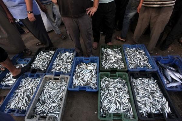 شاهد بالصور توافر للأسماك بغزة 3909985370.jpg