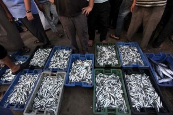 شاهد بالصور توافر للأسماك بغزة 3909985383.jpg