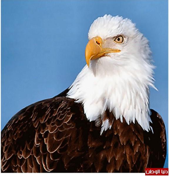 """ومعلومات أقوى الطيور الجارحة العالم """" العقاب""""2013, تقرير 3910012064.jpg"""