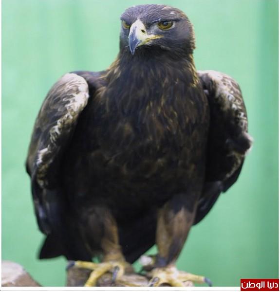 """ومعلومات أقوى الطيور الجارحة العالم """" العقاب""""2013, تقرير 3910012065.jpg"""