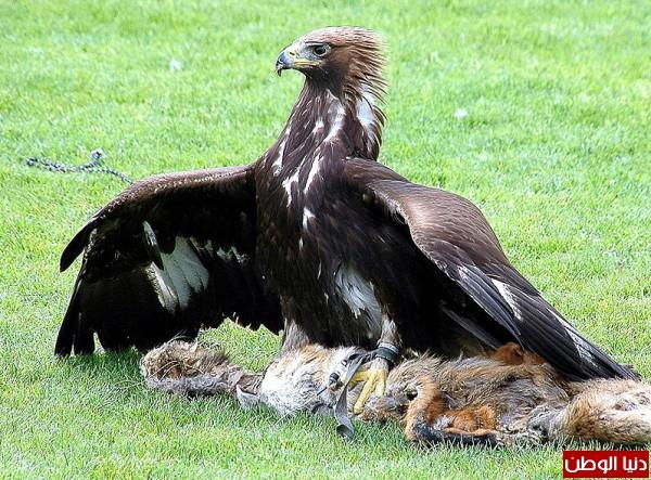 """ومعلومات أقوى الطيور الجارحة العالم """" العقاب""""2013, تقرير 3910012066.jpg"""