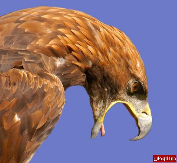 """ومعلومات أقوى الطيور الجارحة العالم """" العقاب""""2013, تقرير 3910012067.jpg"""
