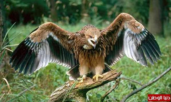 """ومعلومات أقوى الطيور الجارحة العالم """" العقاب""""2013, تقرير 3910012068.jpg"""