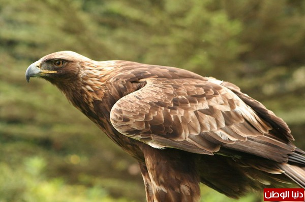 """ومعلومات أقوى الطيور الجارحة العالم """" العقاب""""2013, تقرير 3910012070.jpg"""