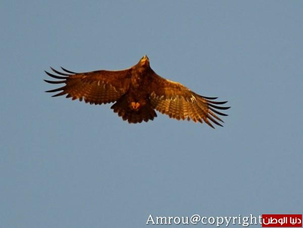 """ومعلومات أقوى الطيور الجارحة العالم """" العقاب""""2013, تقرير 3910012076.jpg"""