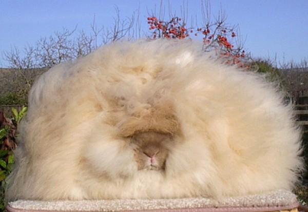 مجموعة صور7belk الأرنب الشعر الكثيف2013,تقرير الأرنب الانجورا الأغرب 3910013415.jpg