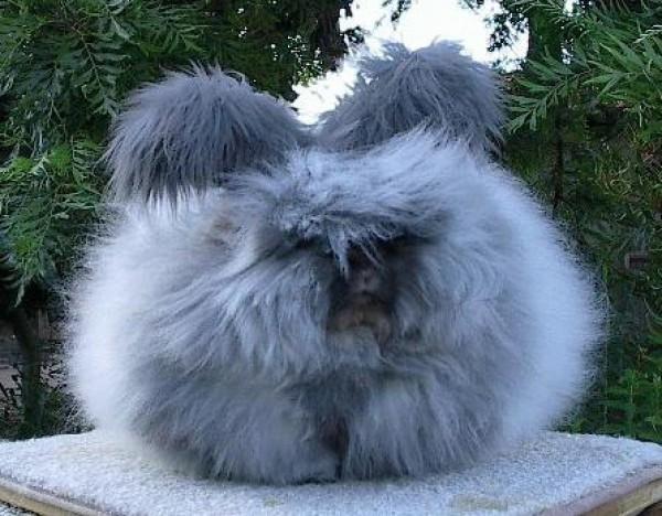 مجموعة صور7belk الأرنب الشعر الكثيف2013,تقرير الأرنب الانجورا الأغرب 3910013416.jpg