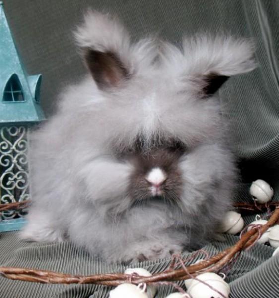 مجموعة صور7belk الأرنب الشعر الكثيف2013,تقرير الأرنب الانجورا الأغرب 3910013417.jpg