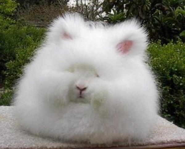 مجموعة صور7belk الأرنب الشعر الكثيف2013,تقرير الأرنب الانجورا الأغرب 3910013418.jpg