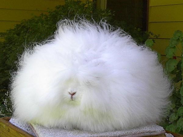 مجموعة صور7belk الأرنب الشعر الكثيف2013,تقرير الأرنب الانجورا الأغرب 3910013419.jpg