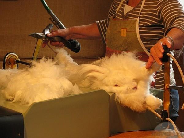 مجموعة صور7belk الأرنب الشعر الكثيف2013,تقرير الأرنب الانجورا الأغرب 3910013420.jpg