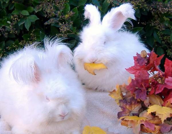 مجموعة صور7belk الأرنب الشعر الكثيف2013,تقرير الأرنب الانجورا الأغرب 3910013421.jpg