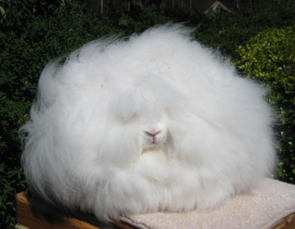 مجموعة صور7belk الأرنب الشعر الكثيف2013,تقرير الأرنب الانجورا الأغرب 3910013422.jpg