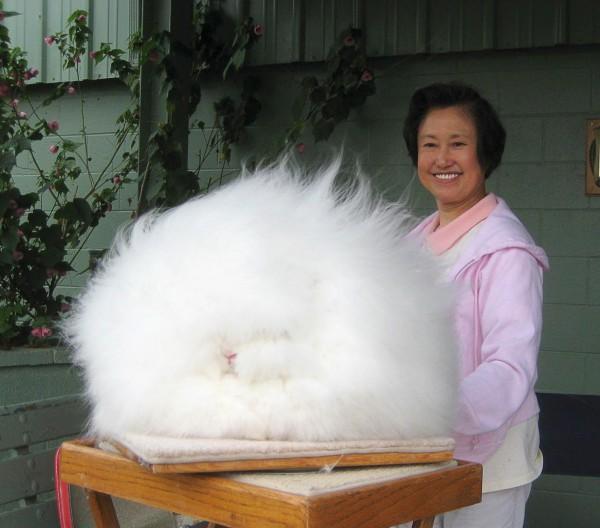 مجموعة صور7belk الأرنب الشعر الكثيف2013,تقرير الأرنب الانجورا الأغرب 3910013423.jpg