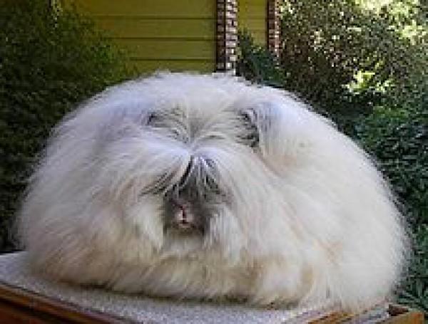 مجموعة صور7belk الأرنب الشعر الكثيف2013,تقرير الأرنب الانجورا الأغرب 3910013424.jpg