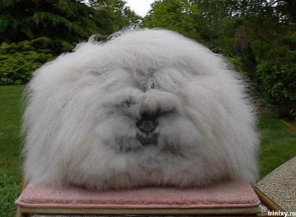 مجموعة صور7belk الأرنب الشعر الكثيف2013,تقرير الأرنب الانجورا الأغرب 3910013425.jpg