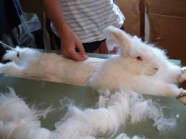 مجموعة صور7belk الأرنب الشعر الكثيف2013,تقرير الأرنب الانجورا الأغرب 3910013426.jpg