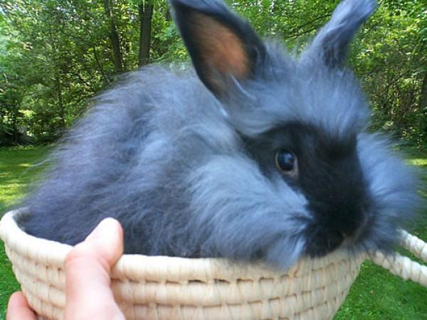 مجموعة صور7belk الأرنب الشعر الكثيف2013,تقرير الأرنب الانجورا الأغرب 3910013427.jpg