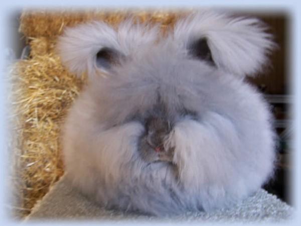 مجموعة صور7belk الأرنب الشعر الكثيف2013,تقرير الأرنب الانجورا الأغرب 3910013428.jpg