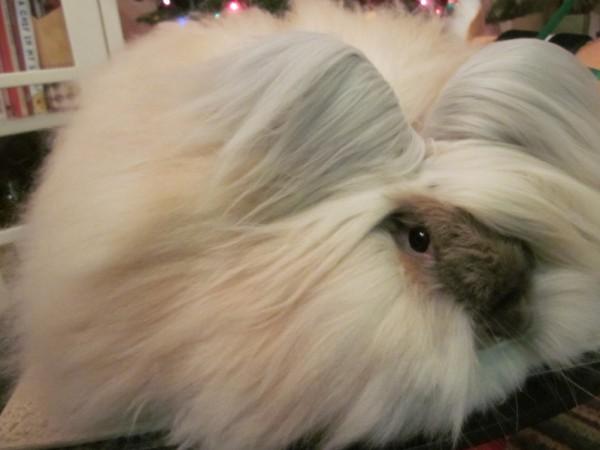 مجموعة صور7belk الأرنب الشعر الكثيف2013,تقرير الأرنب الانجورا الأغرب 3910013429.jpg