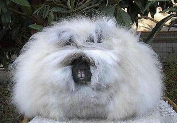 مجموعة صور7belk الأرنب الشعر الكثيف2013,تقرير الأرنب الانجورا الأغرب 3910013430.jpg