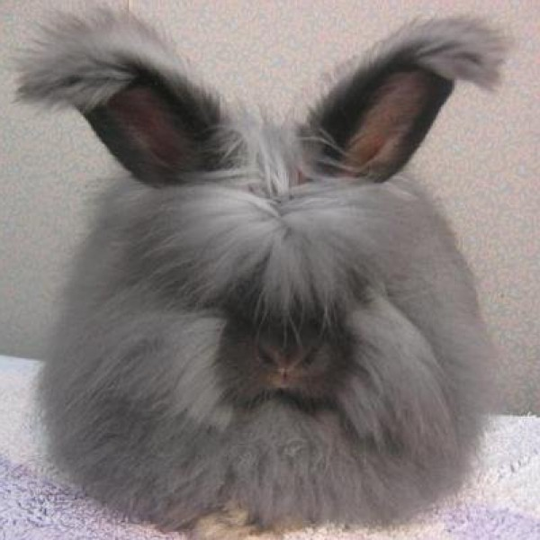 مجموعة صور7belk الأرنب الشعر الكثيف2013,تقرير الأرنب الانجورا الأغرب 3910013431.jpg